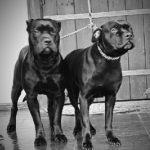 Собаки из Аллен клуба